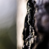 A close up shot of the bark on the side of a birch tree, in Camley Street Natural park, in Kings Cross, London, England