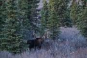 A bull Alaskan moose calls out for a female during the autumn rut in Denali National Park, McKinley Park, Alaska.