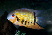 Gold Severum (Heros severum) - abeautiful cichild from the northern Amazon basin, South-America.