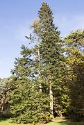 Grand Fir tree, Abies Grandis, National arboretum, Westonbirt arboretum, Gloucestershire, England, UK