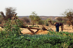 Niger, Agadez, Tidene, 2007. Water enables the Tuareg to grow all kinds of vegetables, including onions, garlic, squash, beans, and corn.