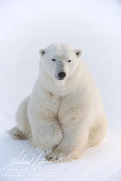 Polar bear, a very large, healthy looking bear at Cape Churchill, Hudson Bay, Manitoba.