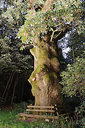 Naturdenkmal Tränkfeld-Eiche, Mossautal, Odenwald, Naturpark Bergstraße-Odenwald, Hessen, Deutschland | old Tränkfeld oak, Mossautal, Odenwald, Hesse, Germany