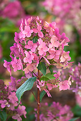 Hydrangea paniculata 'Wim's Red' - showing autumn colouring