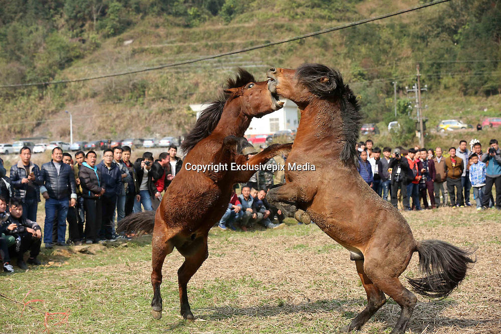 LIUZHOU, CHINA - JANUARY 30: <br /> <br /> Shocking images of Two horses fighting during a horse competition at Rongshui Miao Autonomous County on January 30, 2017 in Liuzhou, Guangxi Zhuang Autonomous Region of China. Miao people held a horse fighting competition on the third day of the Lunar New Year at Rongshui Miao Autonomous County in Liuzhou. <br /> &copy;Exclusivepix Media