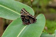 The Morpho Butterfly, Morpho peleides, uses eyespots to confuse predators