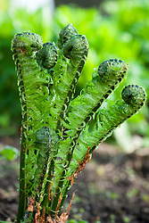 Emerging foliage of Matteuccia struthiopteris 'The King' - Shuttlecock fern, Ostrich Fern
