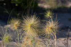 The spiky inflorescences of Beach Spinifex (Spinifex longifolius), commonly found growing on sand dunes on the Kimberley coast.