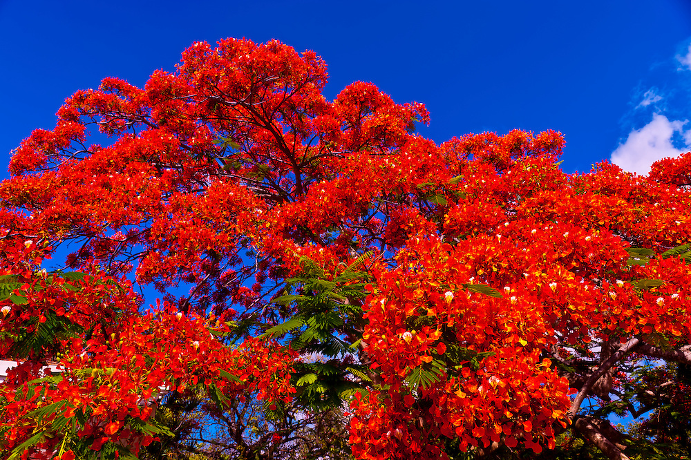 Royal poinciana tree (flame tree), Key West Cemetery, Key West, Florida Keys, Florida USA