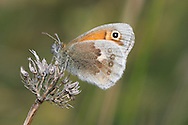 Small Heath Coenonympha pamphilus Wingspan 30mm. A tiny grassland butterfly that invariably rests with its wings closed; upperwings are almost never revealed. Underside of forewing is orange with an eyespot; hindwing is marbled grey, brown and buff. Double-brooded: flies May–June and August–September. Larva feeds on grasses and is nocturnal. Widespread but locally common only in southern England; range has contracted because it is restricted to unimproved grassland and does not tolerate modern agricultural practices.