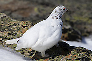 Male white-tailed ptarmigan, Lagopus leucura, on Whisters Summit, Jasper National Park.