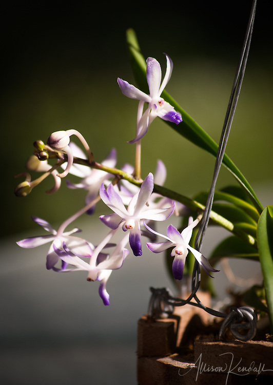 Delicate purple and white epiphytic orchid flowers in bloom