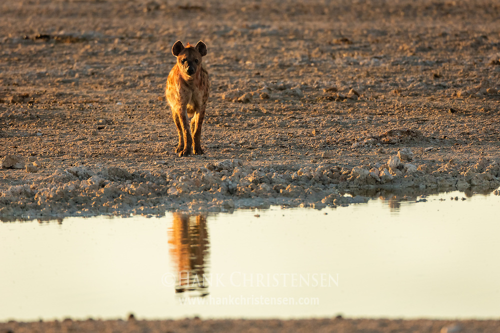 A spotted hyena is reflected in a waterhole at sunrise, Etosha National Park, Namibia.