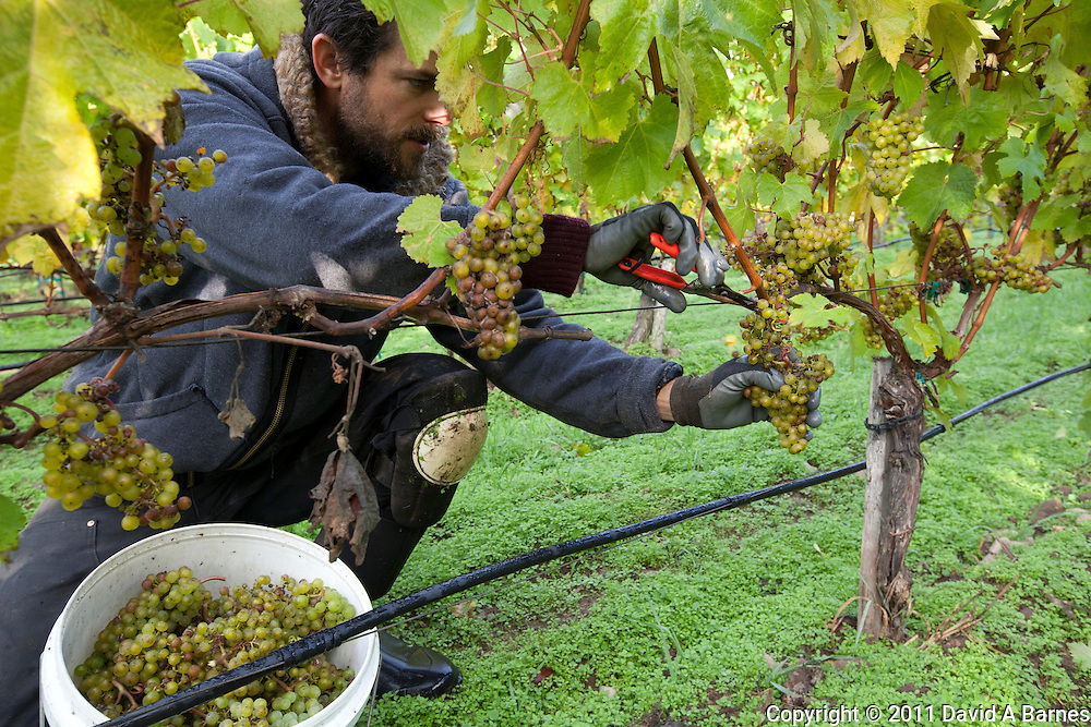 Man harvesting grapes for wine production.