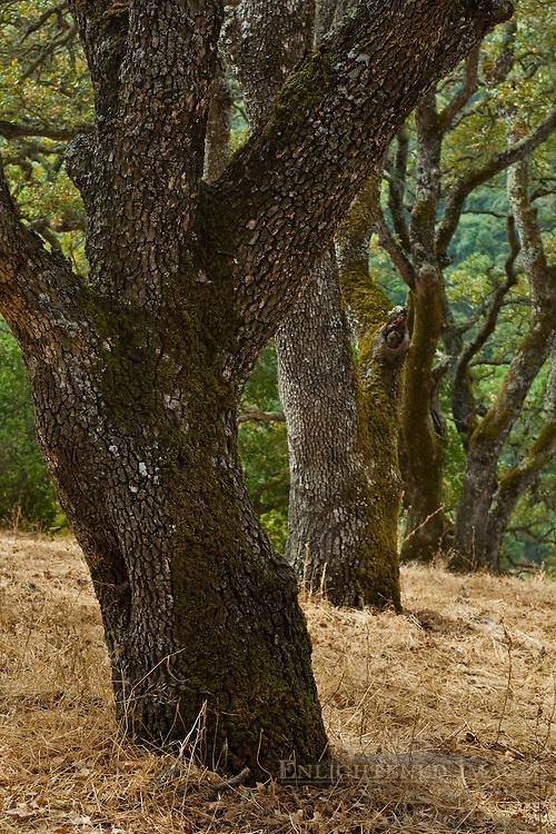 Oak trees, Briones Regional Park, Contra Costa County, California