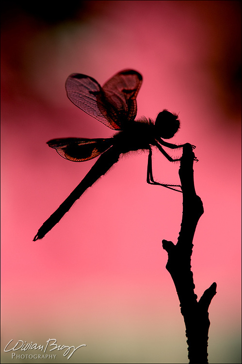 Sunrise Dragon - A Calico Pennant Dragonfly