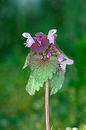RED DEAD-NETTLE Lamium purpureum (Lamiaceae) Height to 30cm. Branched and spreading, downy annual that is pungently aromatic when crushed. Whole plant sometimes acquires a purplish tinge. Grows on disturbed ground and cultivated soils. FLOWERS are 12-18mm long and purplish pink, with a hooded upper lip and the lower lip toothed at the base and twice the length of the calyx; borne in whorls on upright stems (Mar-Oct. FRUITS are nutlets. LEAVES are heart-shaped to oval, round-toothed and stalked. STATUS-Widespread and common throughout most of the region.
