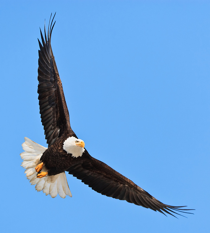 Bald Eagle (Haliaeetus leucocephalus) in flight in Eagle River near Anchorage in Southcentral Alaska. Winter. Morning.
