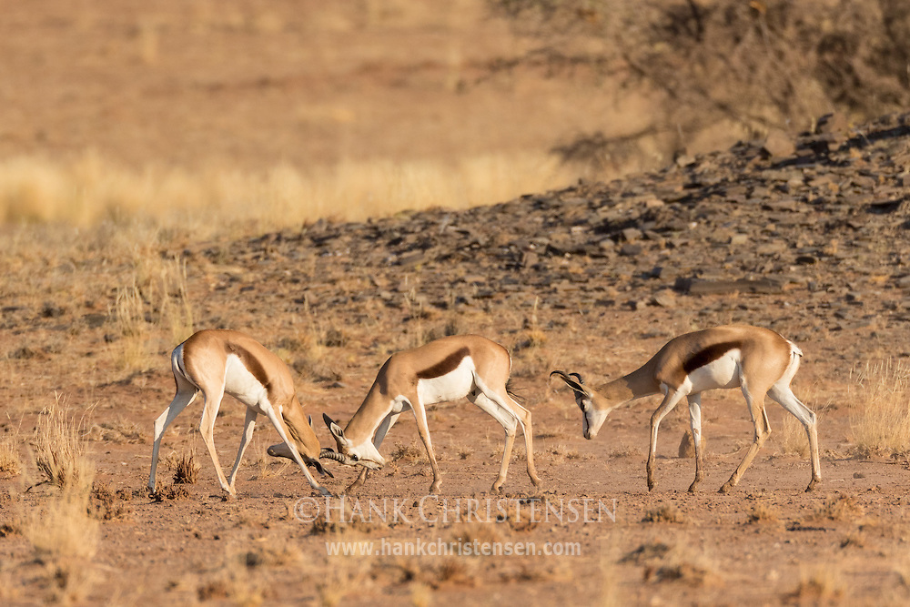Two springbok lock antlers in a battle of dominance, Twyfelfontein, Namibia.