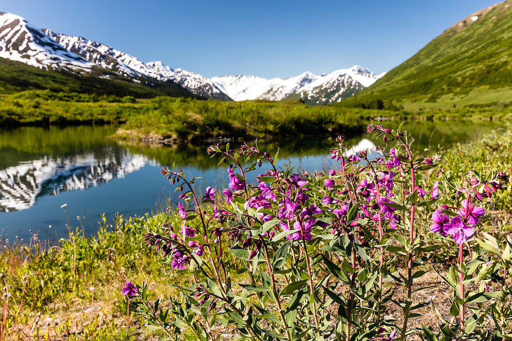 Dwarf Fireweed (Epilobium latifolium) growing along a pond with the Kenai Mountains in the background in Turnagain Pass in Southcentral Alaska. Spring. Morning.