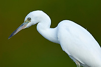 Snowy Egret (Egretta thula), Green Cay Nature Centre, Delray Beach, Florida, USA   Photo: Peter Llewellyn