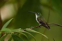 Andean Emerald Hummingbird  (Amazilia franciae) <br /><br />Milpe Cloudforest Rerserve, Ecuador