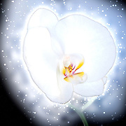 Digitally enhanced image of a single white Orchid on black back ground