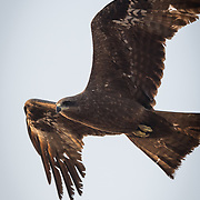 The black kite (Milvus migrans) is a medium-sized bird of prey in the family Accipitridae.