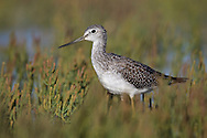 Greater Yellowlegs - Tringa melanoleuca - juvenile