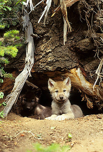 Gray Wolf, (Canis lupus) Young pup at entrance to den. Spring. Rocky mountains. Montana.  Captive Animal.