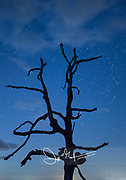 A perseid meteor shoots past the silhouette of a single tree along Skyline Drive, Shenandoah National Park, Virginia.
