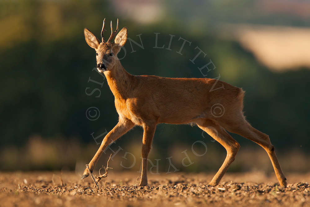 Western Roe Deer (Capreolus capreolus) adult male on a ploughed field, Norfolk, UK.