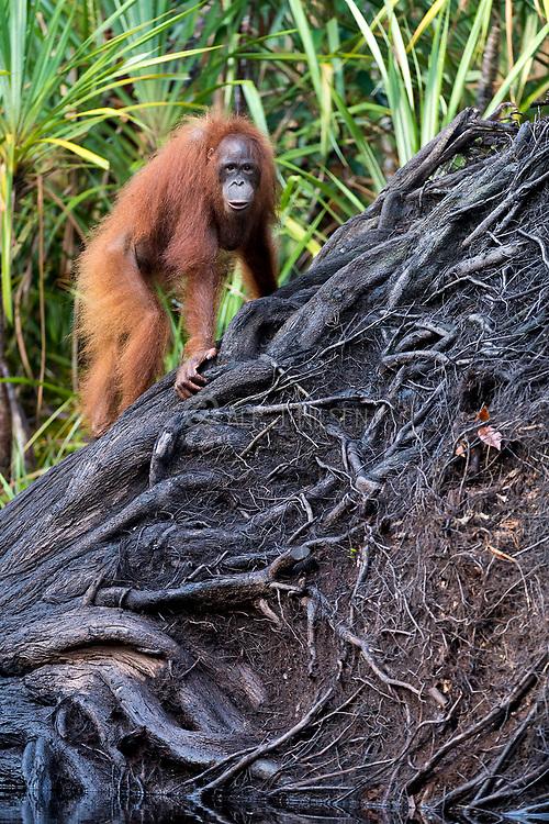 Young Borneo Orangutan (Pongo pygmaeus wurmbi) in a wetland landscape in Tanjung Puting National Park, Kalimantan, Indonesia