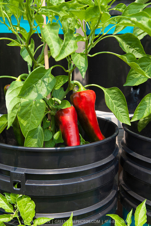 Red sweet peppers growing in subirrigated containers made from recycled plastic pails at Eastdale School Grown Rooftop Garden