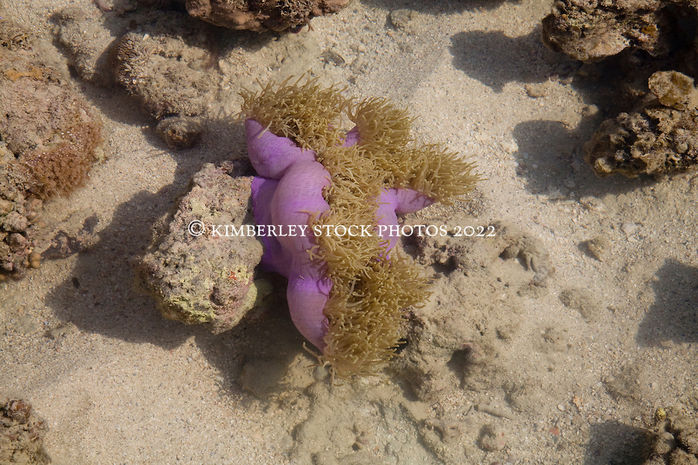 Purple anemone in Talbot Bay