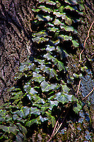 Ivy growing on Tree.