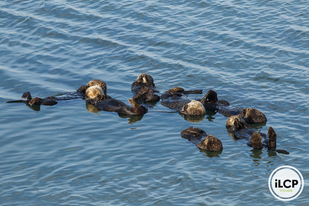 Sea Otter (Enhydra lutris) males in raft, Elkhorn Slough, Monterey Bay, California