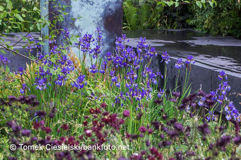 Iris sibirica inside brown color flowers