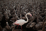 FUENTE DE PIEDRA, SPAIN - JULY 19: An adult flamingo stands with flamingo chicks in an enclosure before they are tagged in Fuente de Piedra lake on July 19, 2014 in Fuente de Piedra, Spain. Fuente de Piedra lagoon is a natural reserves with more than 170 different species recorded and one of the main breeding grounds for Flamingos in Iberian Peninsule. Hundreds of flamingo chicks are tagged and checked to record the evolution of the species. (Photo by Pablo Blazquez Dominguez/Getty Images)