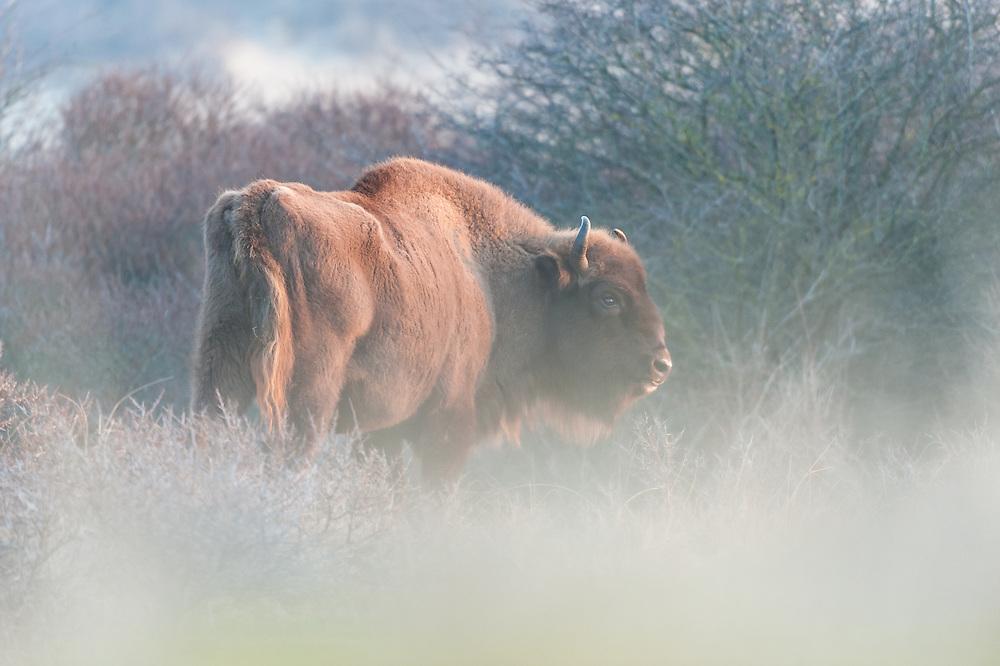 European Bison (Bison bonasus) standing in thick bushes