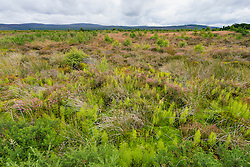 View of natural moorland at Culloden Moor former battlefield in Highland, Scotland