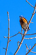 Frontal view of a Eastern Bluebird - Sialia sialis sitting on a limb