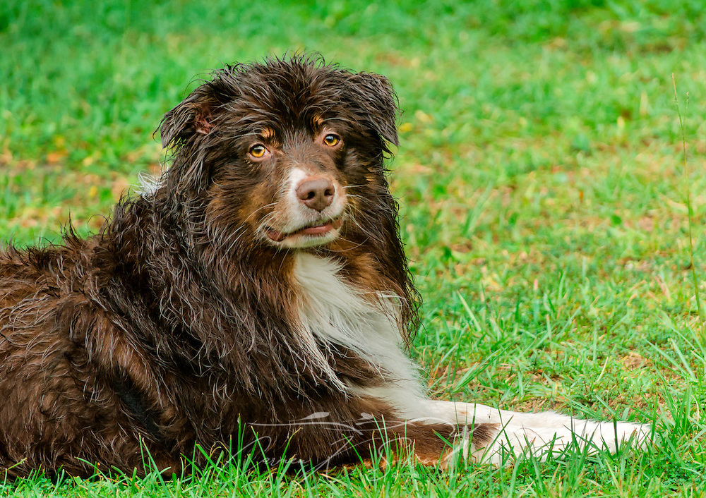 Cowboy, a six-year-old red-tri Australian Shepherd, cools off during a summer rainstorm in Coden, Alabama, July 19, 2014. (Photo by Carmen K. Sisson/Cloudybright)