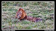 Lake Nakuru Lion.Kenya - September 2012