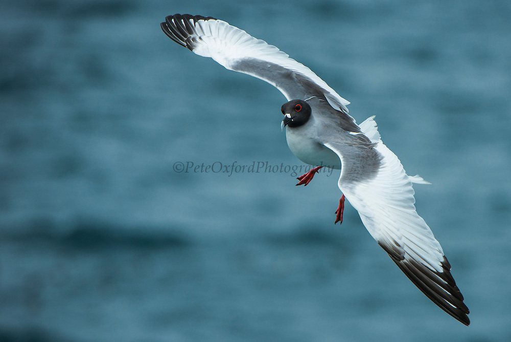 Swallow-tailed Gull (Larus furcatus)<br /> GALAPAGOS ISLANDS,<br /> Ecuador, South America<br /> ENDEMIC