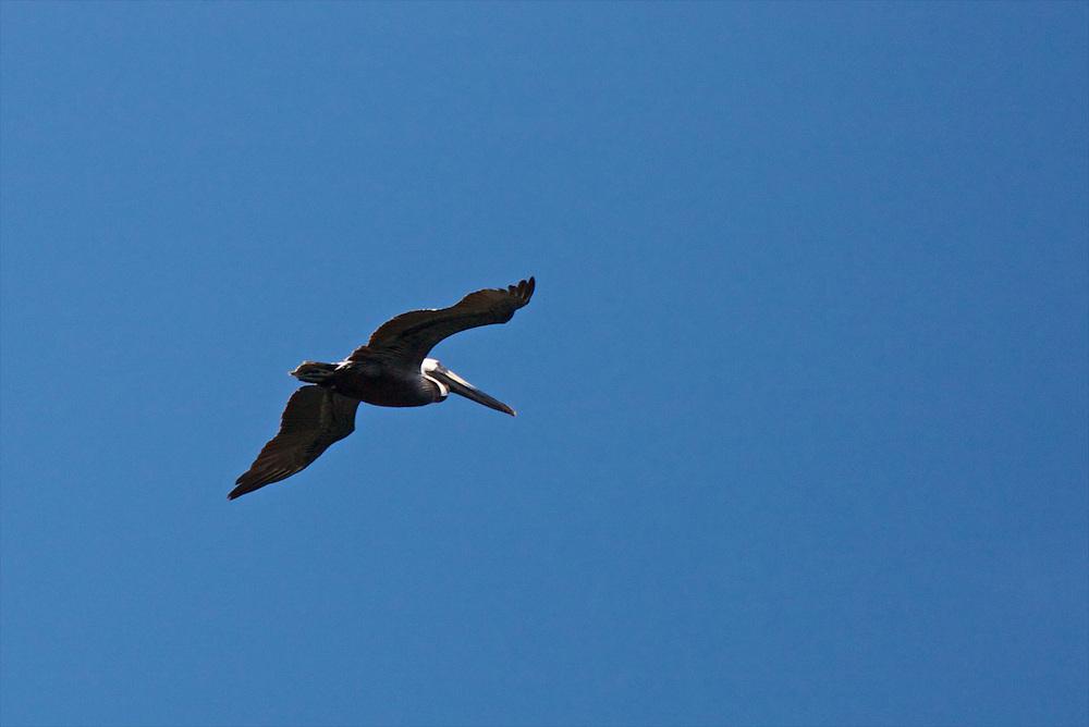 Pelican, Grand Isle, LA