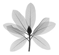 X-ray image of a rhododendron in bud, lateral view (Rhododendron, black on white) by Jim Wehtje, specialist in x-ray art and design images.