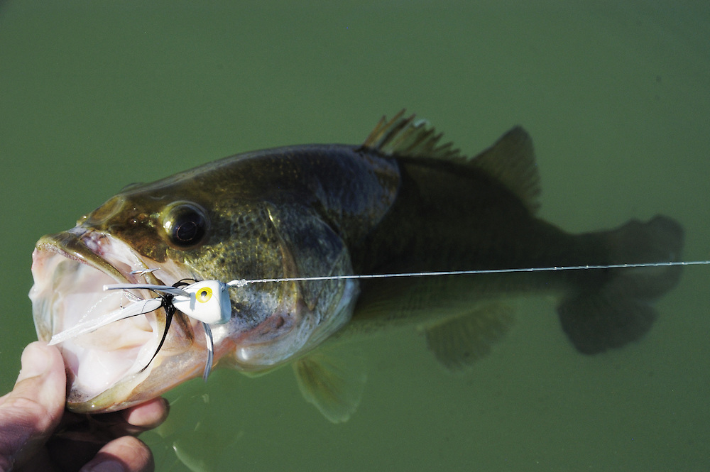 A largemouth bass is landed on the fly.