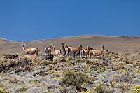 GUANACOS (Lama guanicoe) ENTRE LA ESTEPA Y LAS ROCAS VOLCANICAS, RESERVA PROVINCIAL LA PAYUNIA (PAYUN, PAYEN), MALARGUE, PROVINCIA DE MENDOZA, ARGENTINA (PHOTO © MARCO GUOLI - ALL RIGHTS RESERVED)