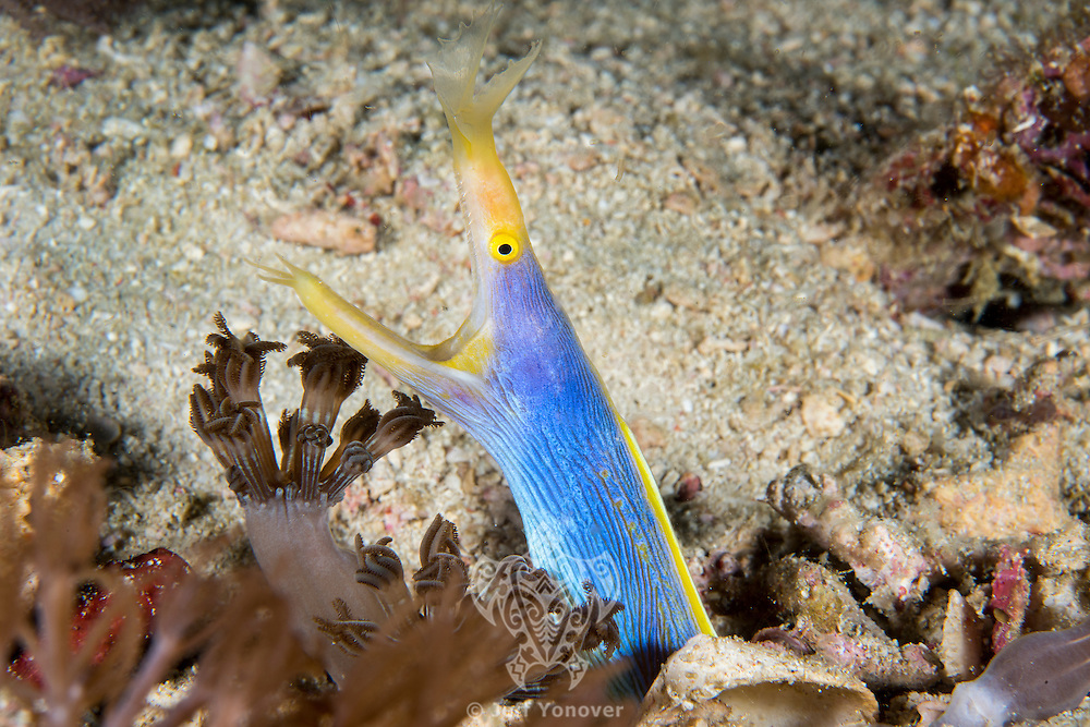 A Blue Ribbon Eel poses, jaws agape, from its burrow in the seafloor<br /> <br /> Shot in Indonesia